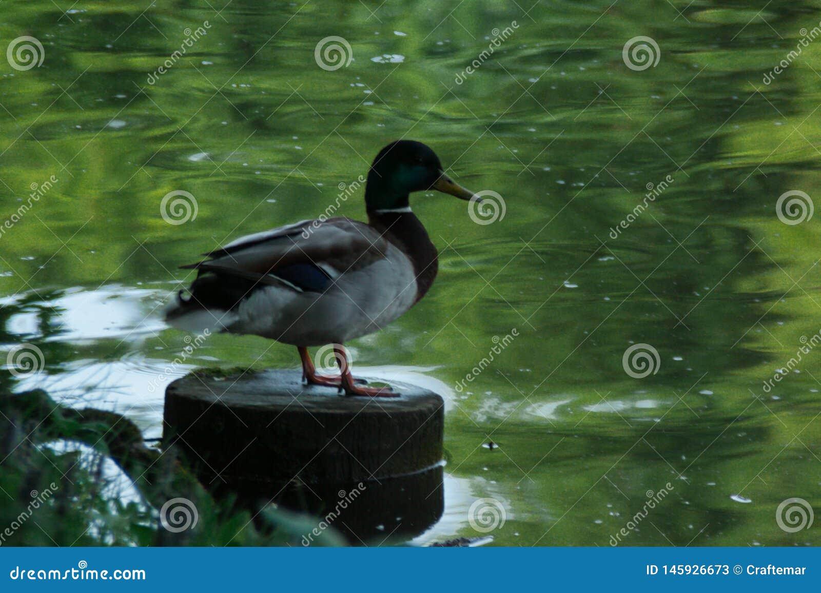 布朗米黄鸭子坐日志在农村池塘附近用绿色水,鸭子反射了水的表面上