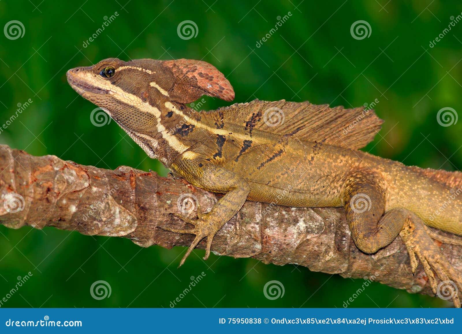 布朗蛇怪,蛇怪vittatus,在自然栖所 罕见的蜥蜴美丽的画象从哥斯达黎加的 在gre的蛇怪