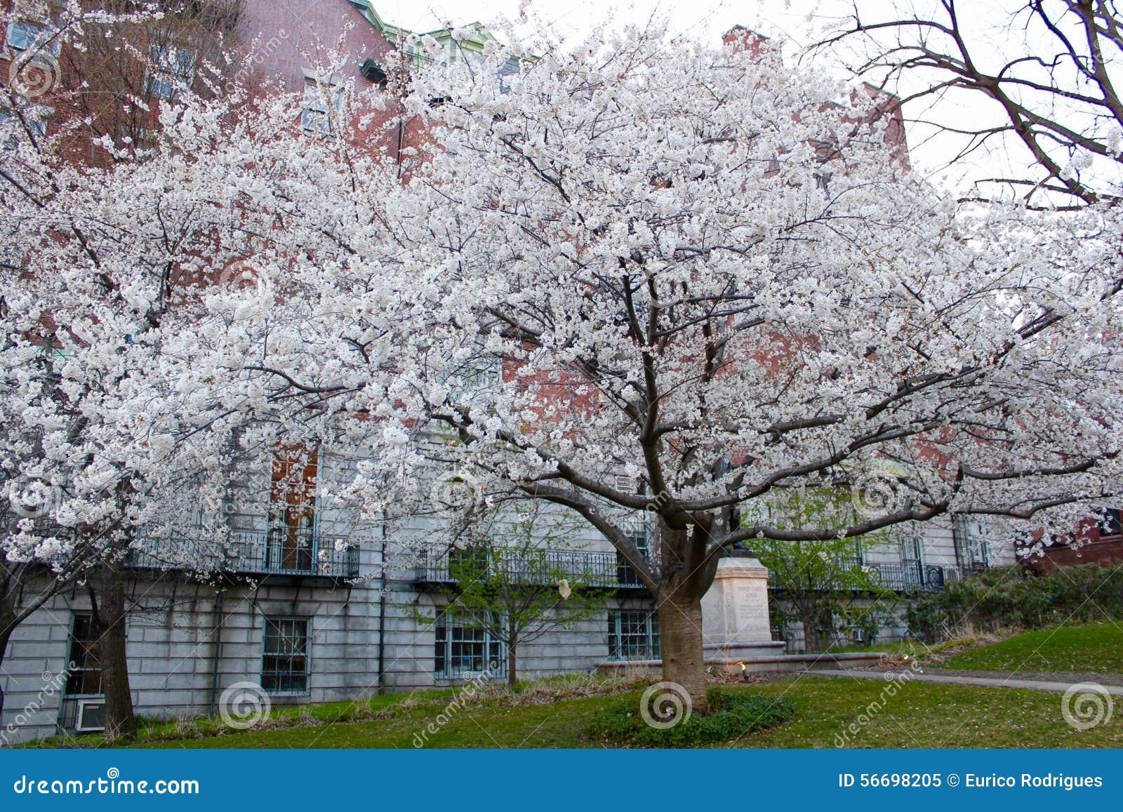 布雷得佛洋梨树