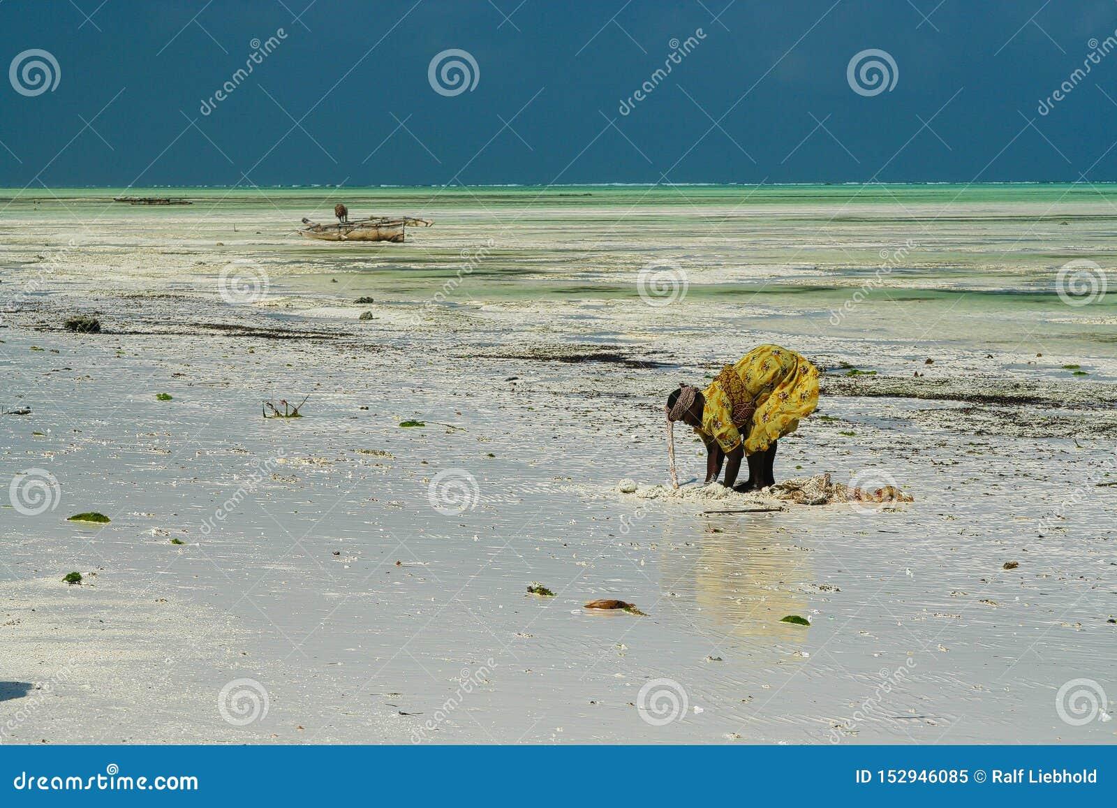 帕杰,桑给巴尔- 12月17 2007年:搜寻螃蟹和海壳在白色沙子的传统黄色衣裳的非洲妇女与