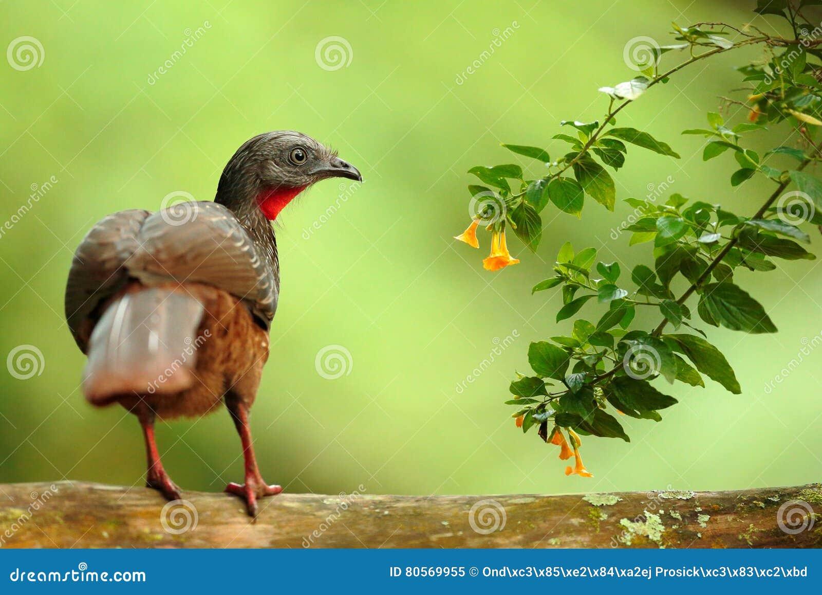带被盯梢的管国,绣花底布argyrotis,从黑暗的森林圣玛尔塔山,哥伦比亚的稀有人物 鸟的监视人在南美 双
