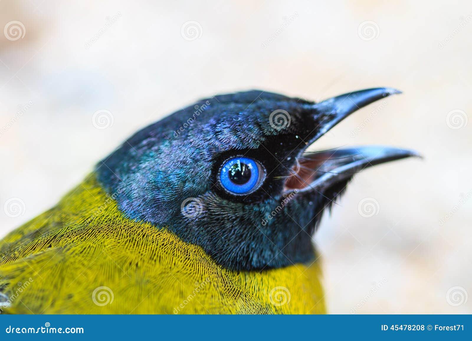 黑带头的歌手, Pycnonotus atriceps