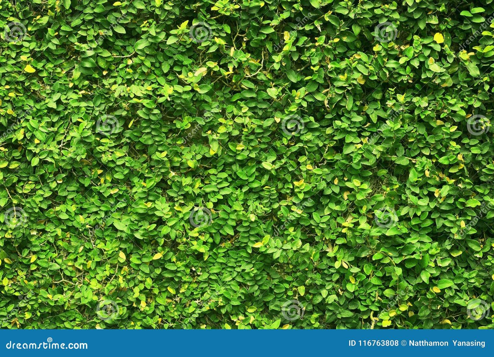 常春藤绿色叶子盖了墙壁 自然树篱芭背景