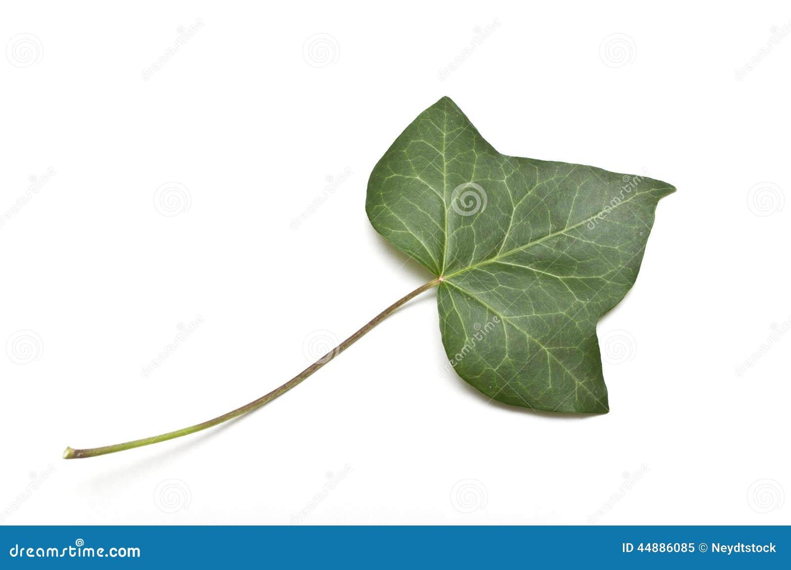 常春藤被隔绝的叶子