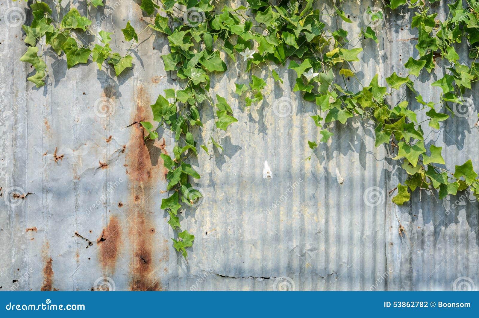 常春藤金瓜或Coccina Grandis植物