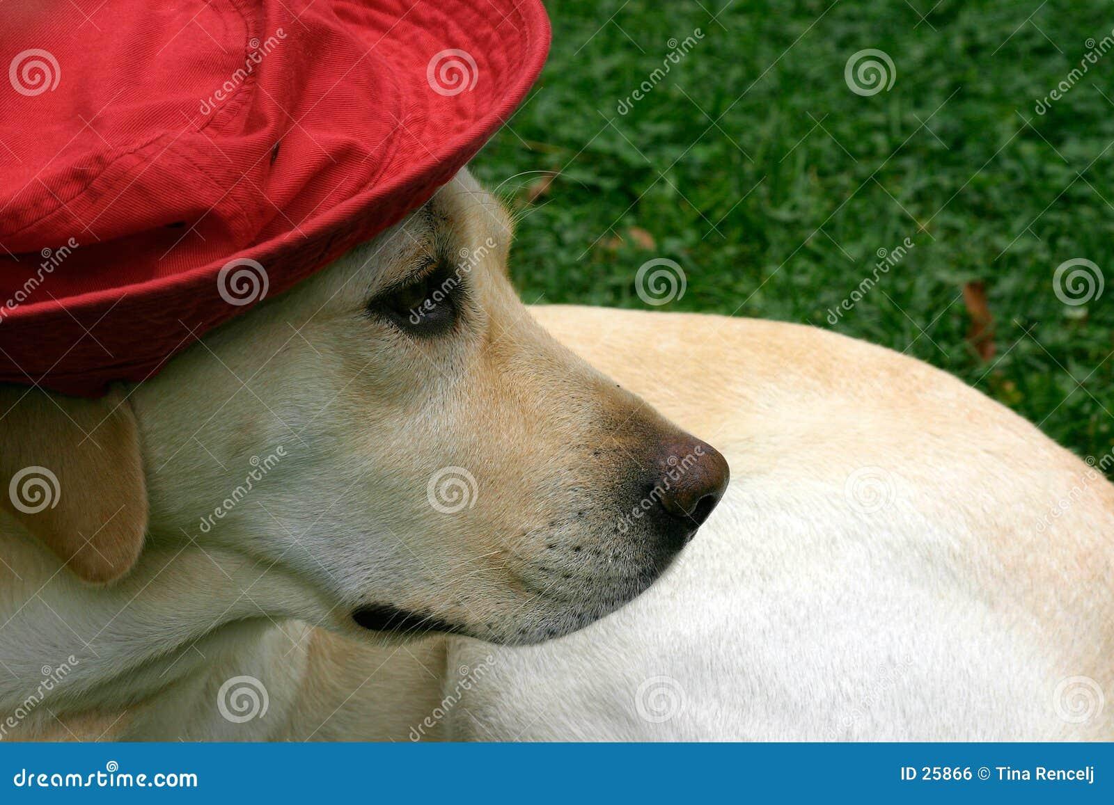 帽子ii拉布拉多红色