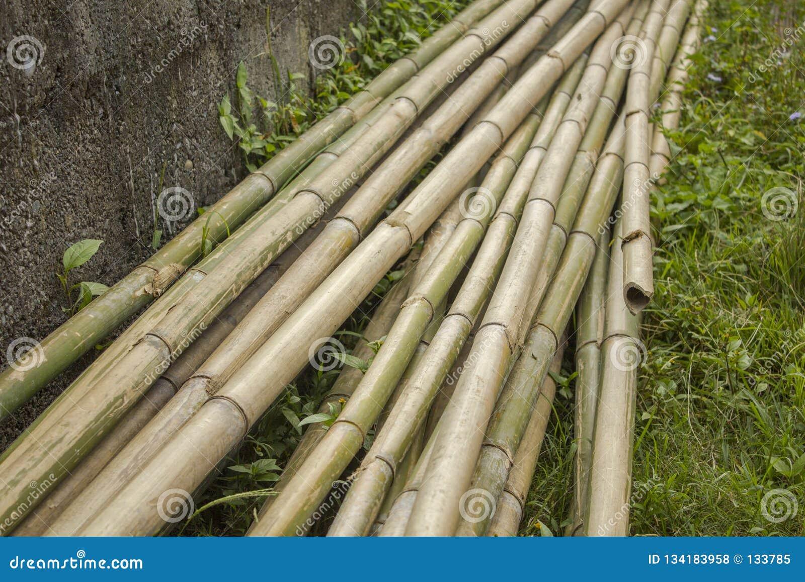 干燥灰色绿色竹茎长的树干在草说谎在混凝土墙附近