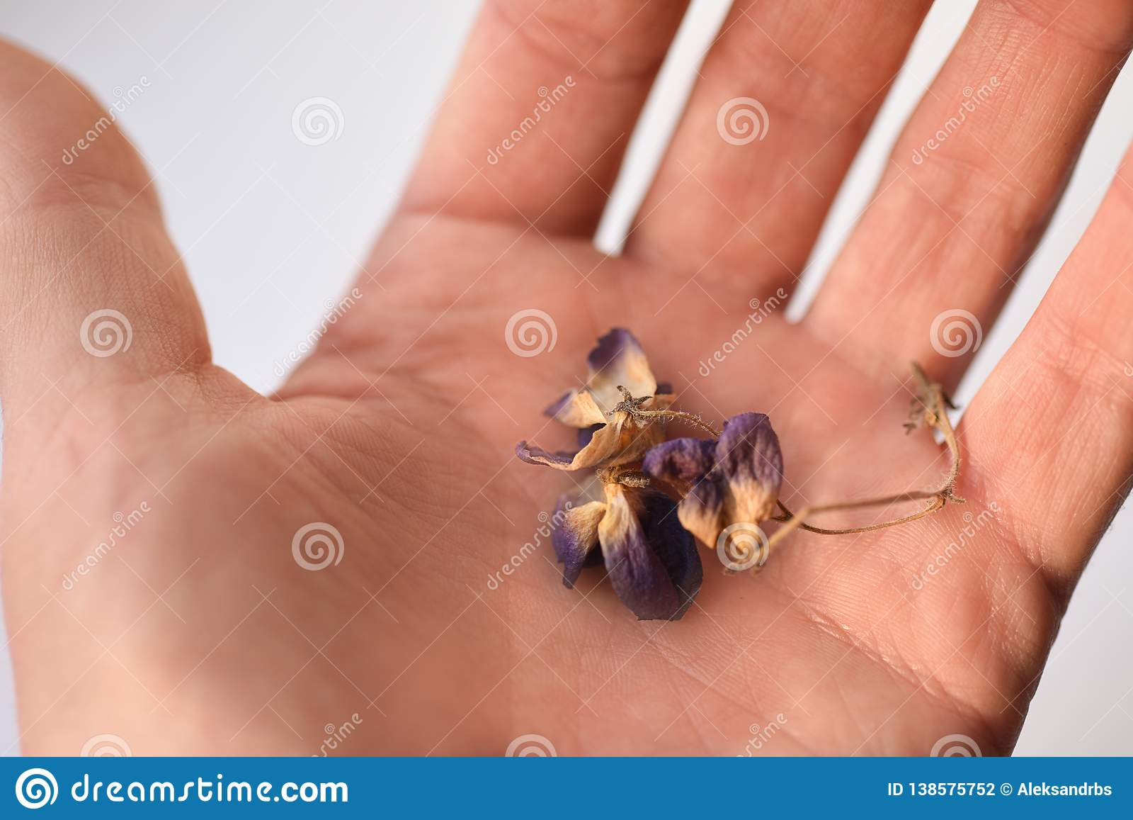干紫罗兰色花在手中,特写镜头,孤立