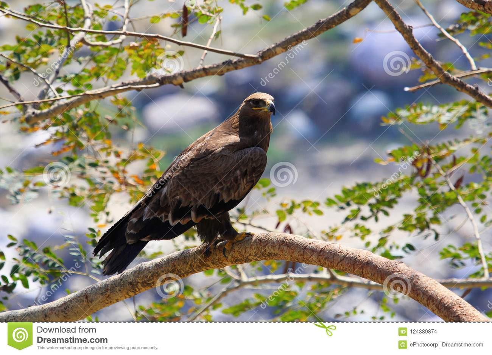 干草原老鹰,天鹰座nipalensis 萨斯瓦德,马哈拉施特拉,印度
