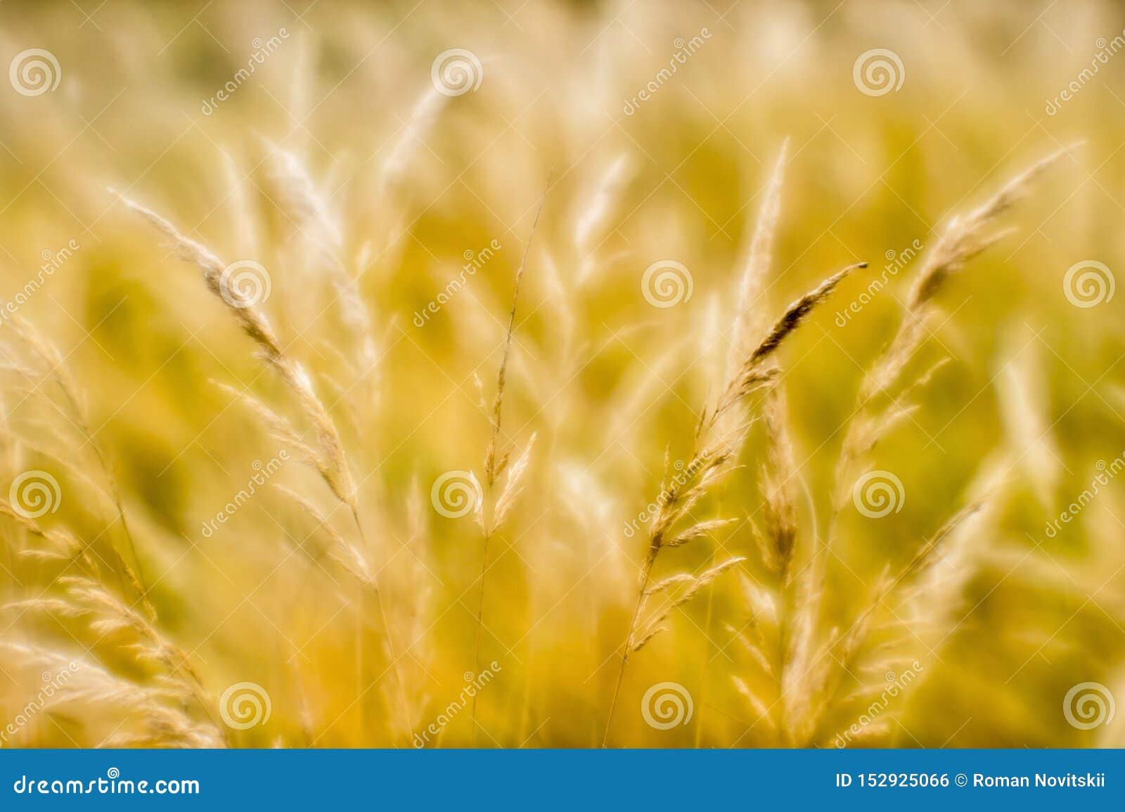 干草软的背景迷离在秋天的 麦子耳朵背景特写镜头  ??
