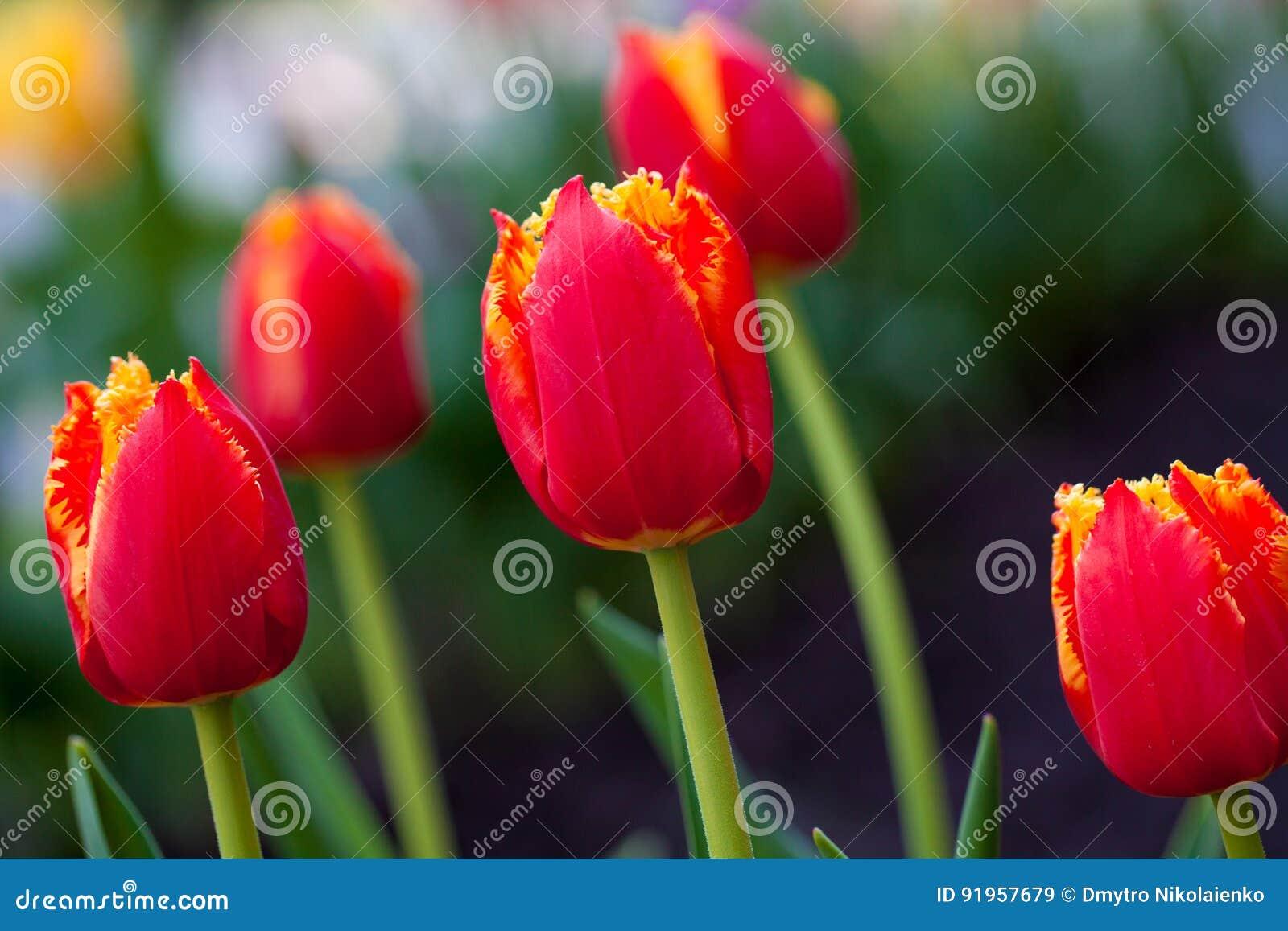 水平的抽象背景 美丽的红色郁金香 Flowerbackground, gardenflowers 背景美丽的刀片花园
