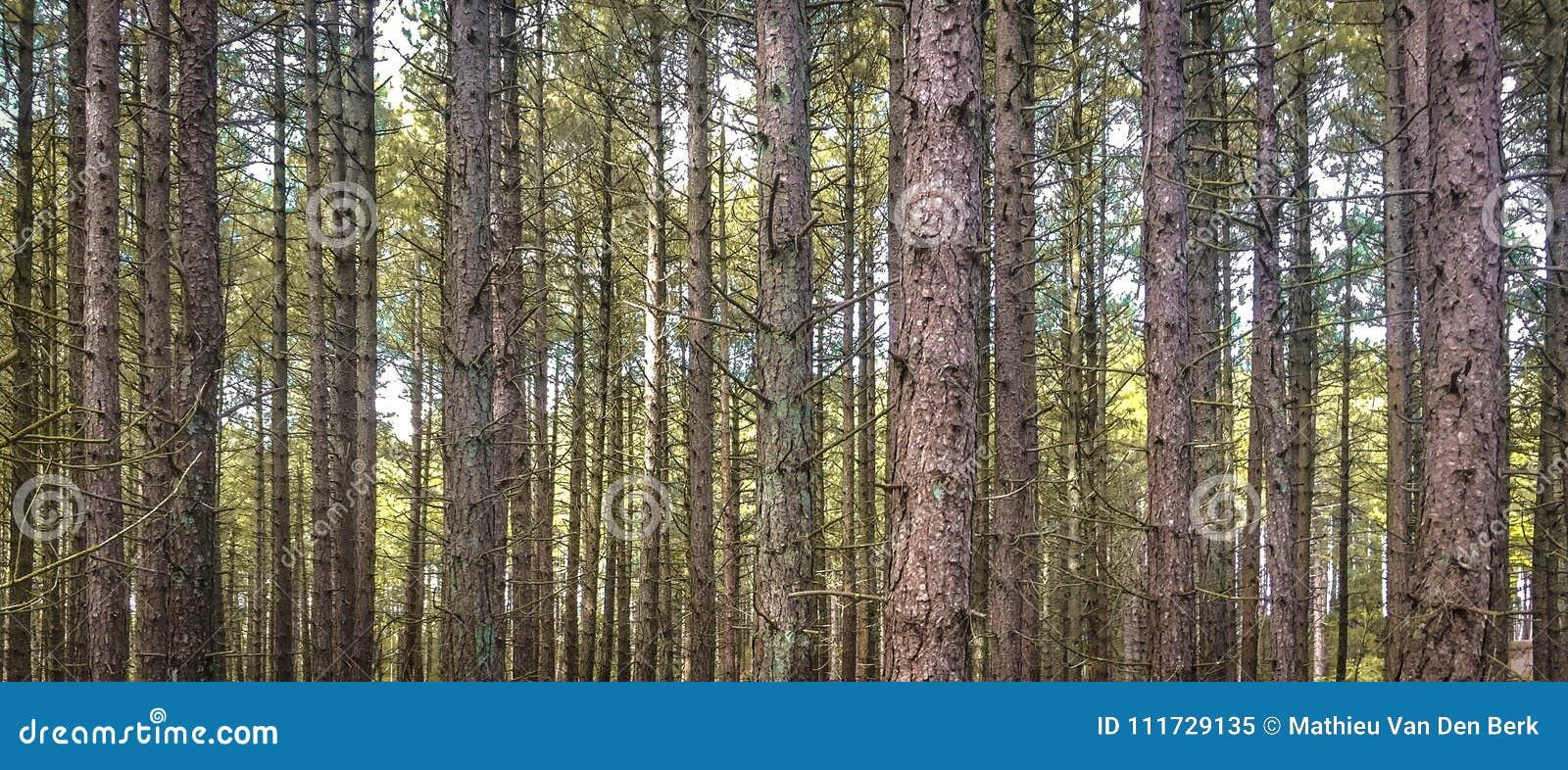 平直的树在荷兰森林里