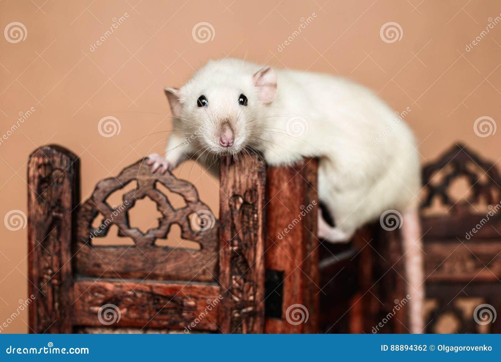 平衡在木折叠的屏幕上的滑稽的鼠