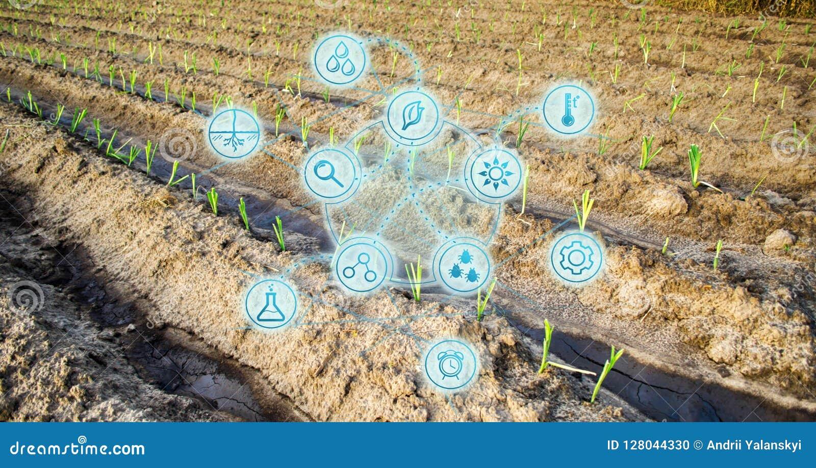 年轻圆白菜的农田 新的幼木 创新和新技术在农业事务 科学developmen