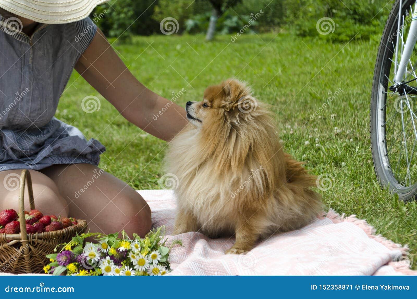 年轻女人抚摸橙色德国pomeranian波美丝毛狗