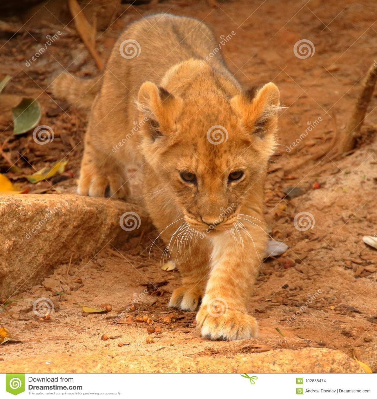 年轻幼狮偷偷靠近