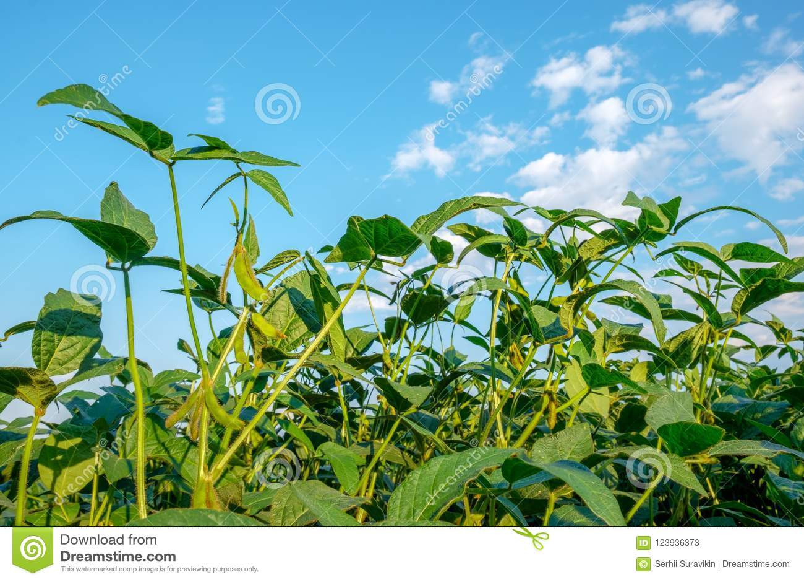 年轻生长大豆词根反对蓝天的