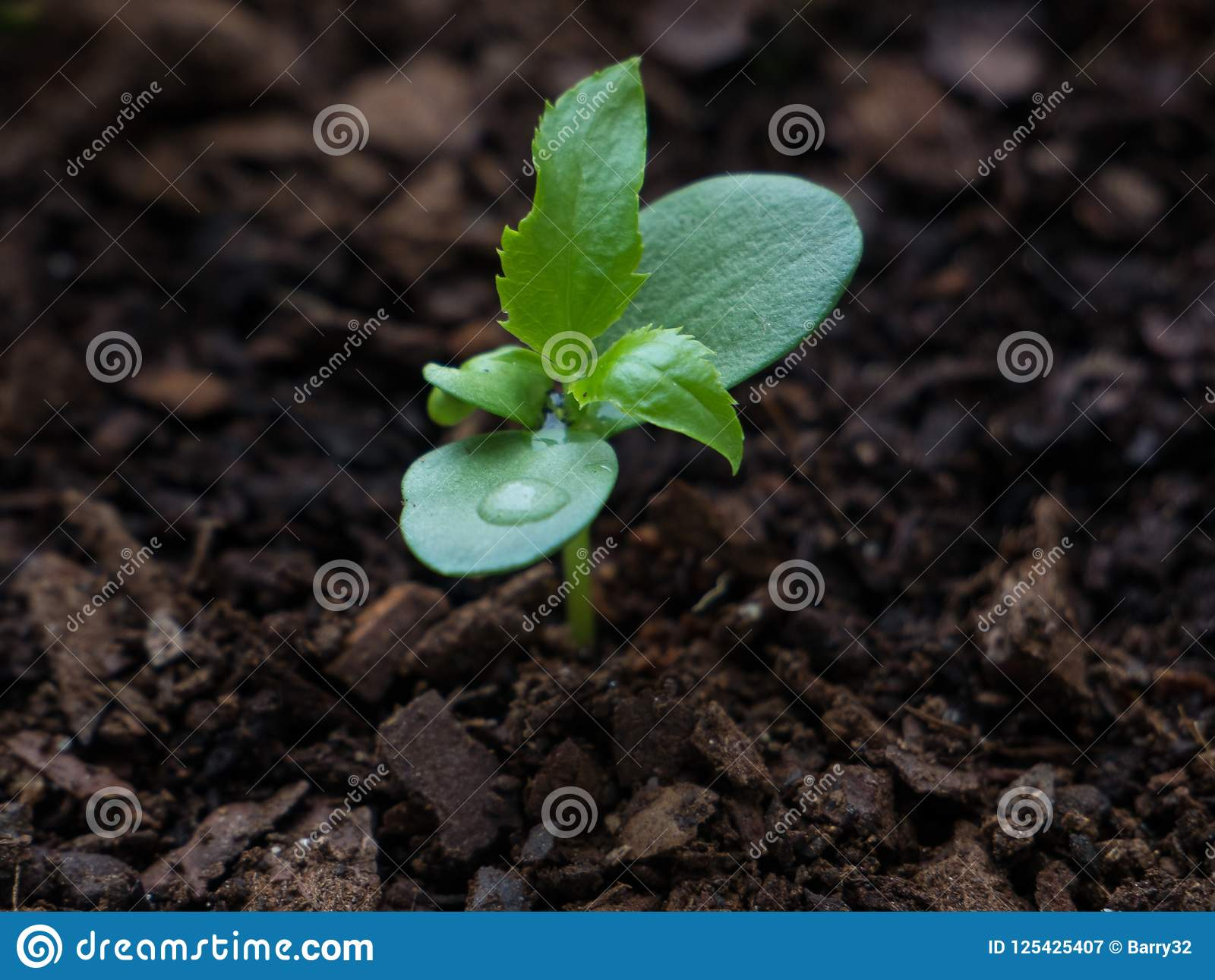 年轻苹果树幼木3个星期在发芽从与水滴的地球以后在叶子