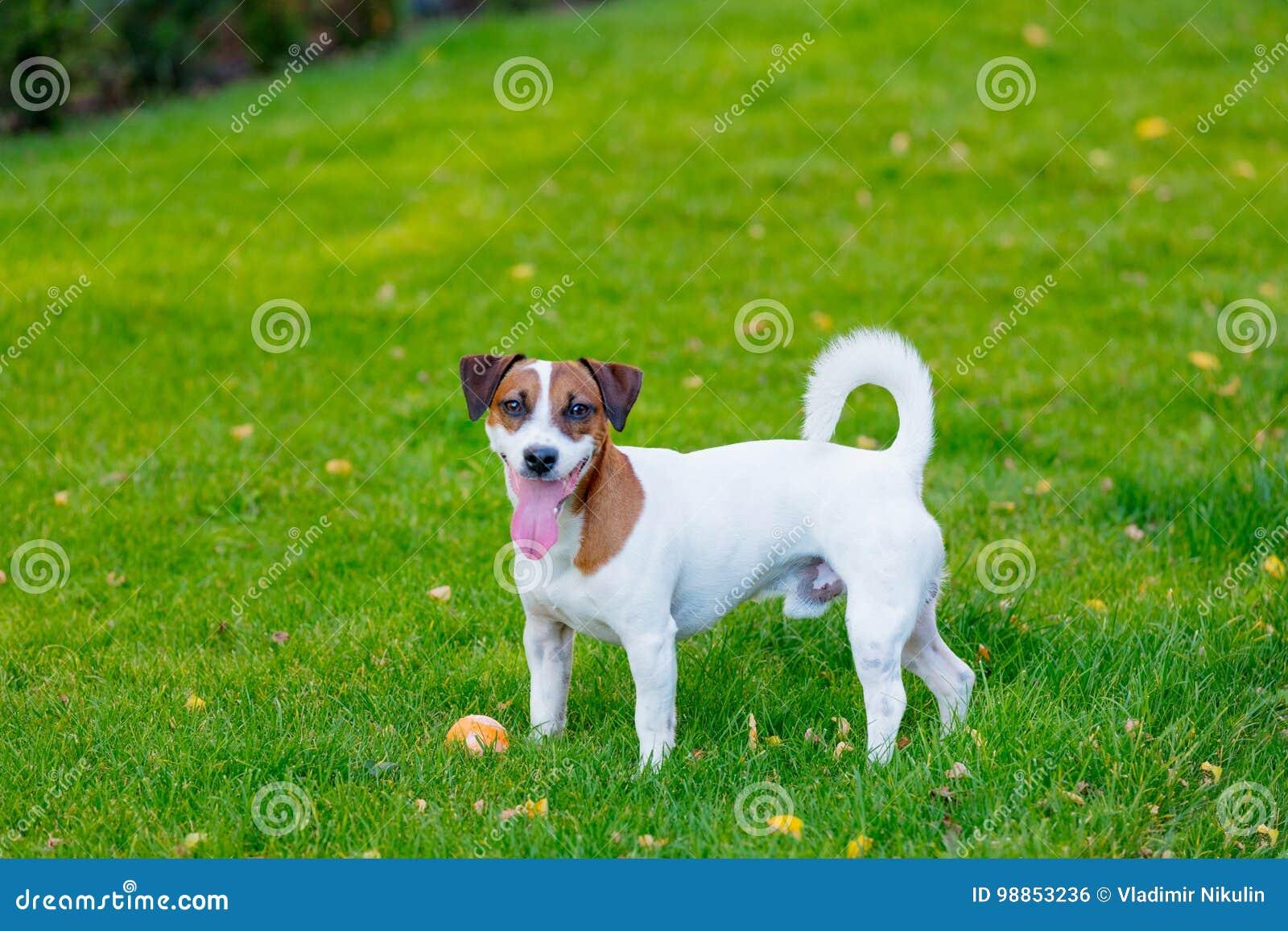 幼小光滑上漆的杰克罗素狗狗