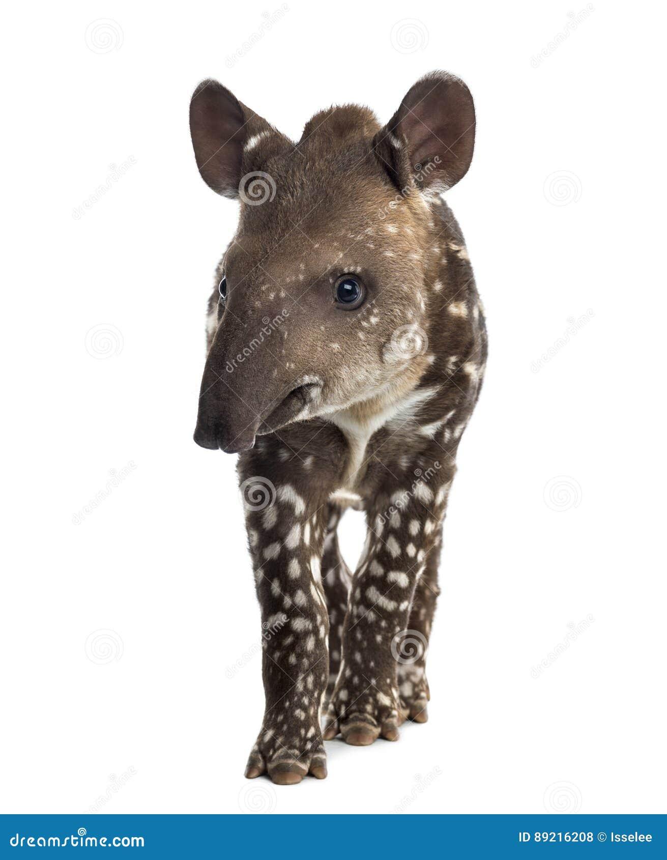 幼小南美貘,被隔绝, 41天年纪