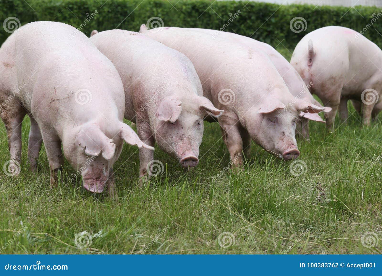 download 幼小母猪吃草在牧场地的小组 库存照片.图片