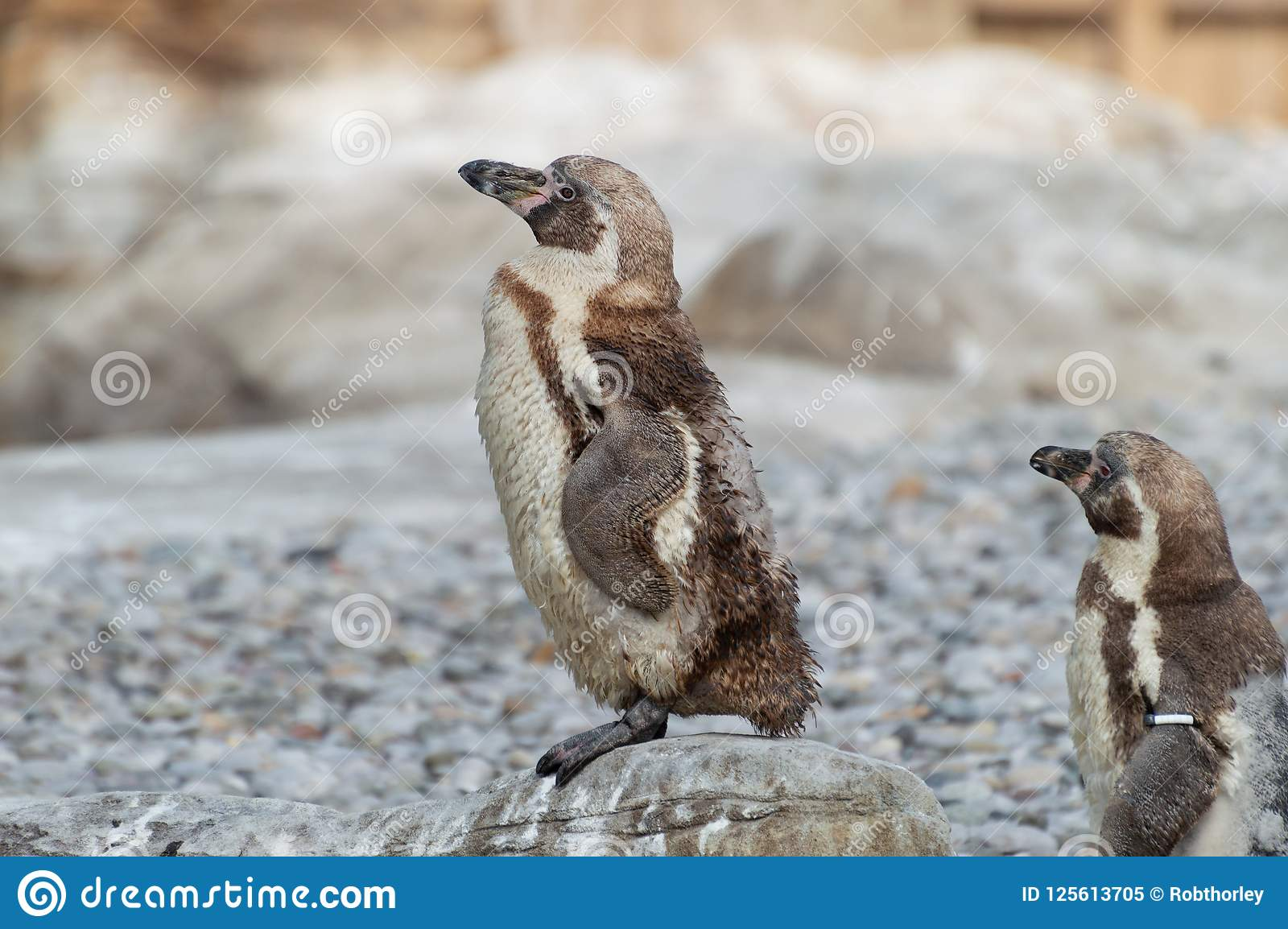 幼小洪堡企鹅