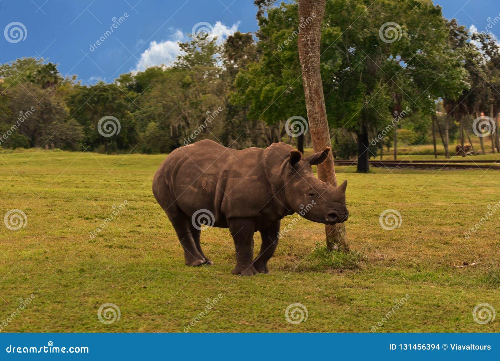 幼小犀牛在绿色森林的绿色草甸和部份多云背景在布什庭院坦帕