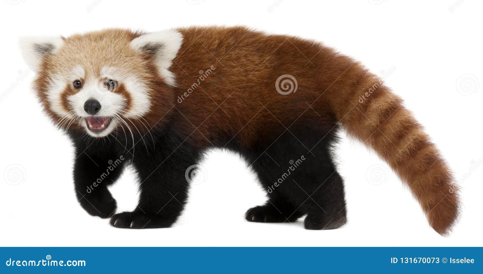 幼小红熊猫或发光的猫,小雄猫属fulgens,7个月
