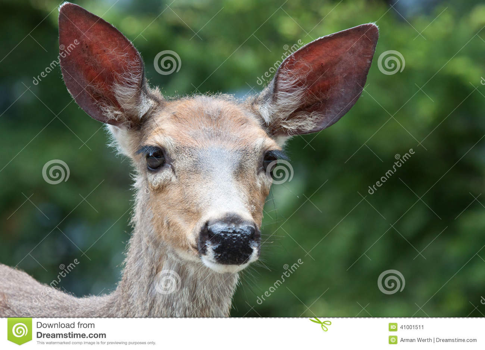 幼小长耳鹿