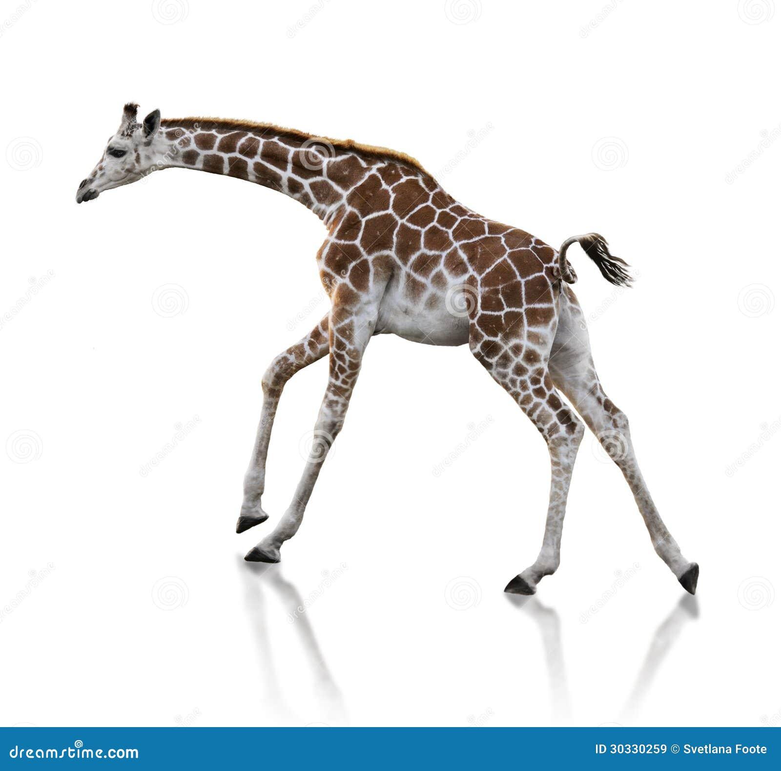 幼小长颈鹿