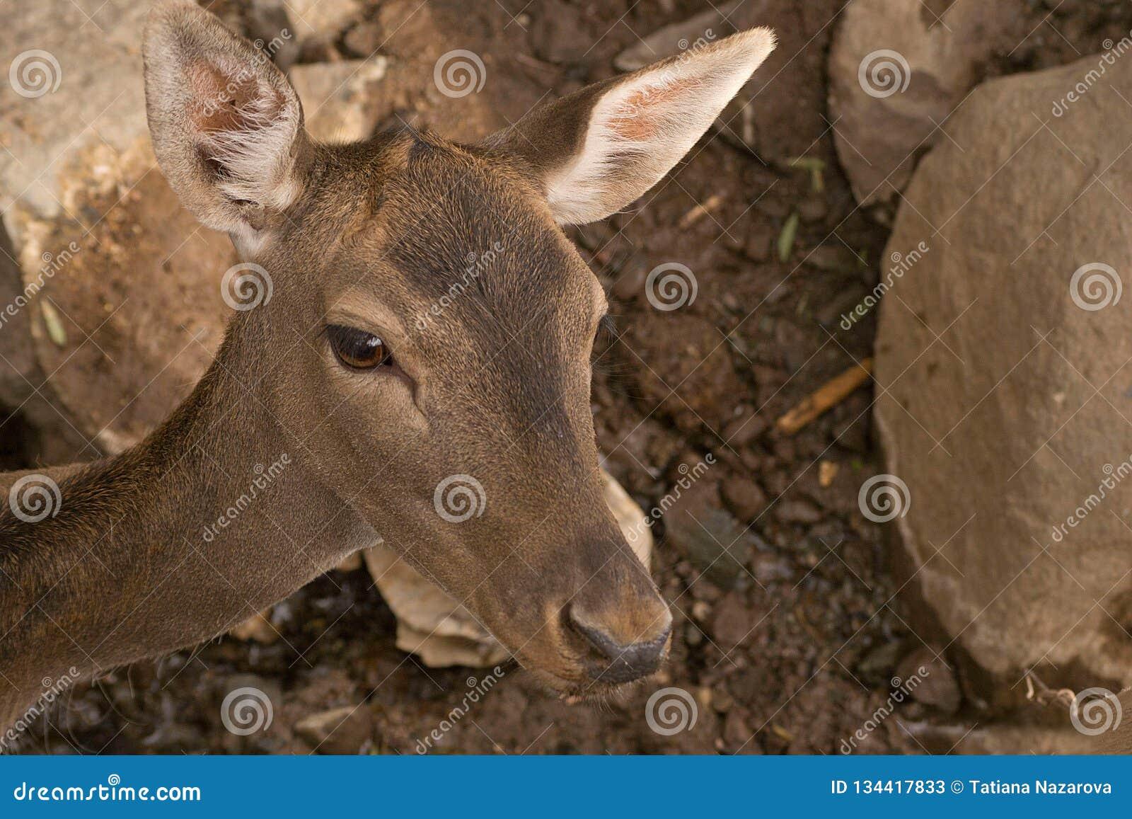 幼小鹿在动物园里