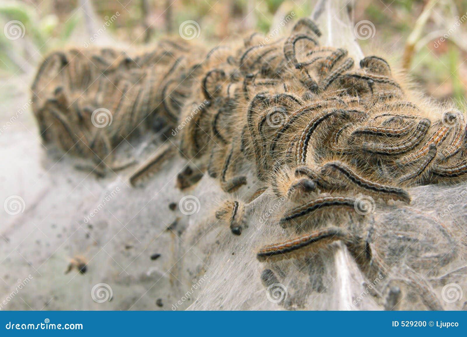 Download 幼虫丝绸 库存照片. 图片 包括有 绿色, 净额, 许多, 本质, 遭遇, 农场, 颜色, 详细资料, 生活 - 529200
