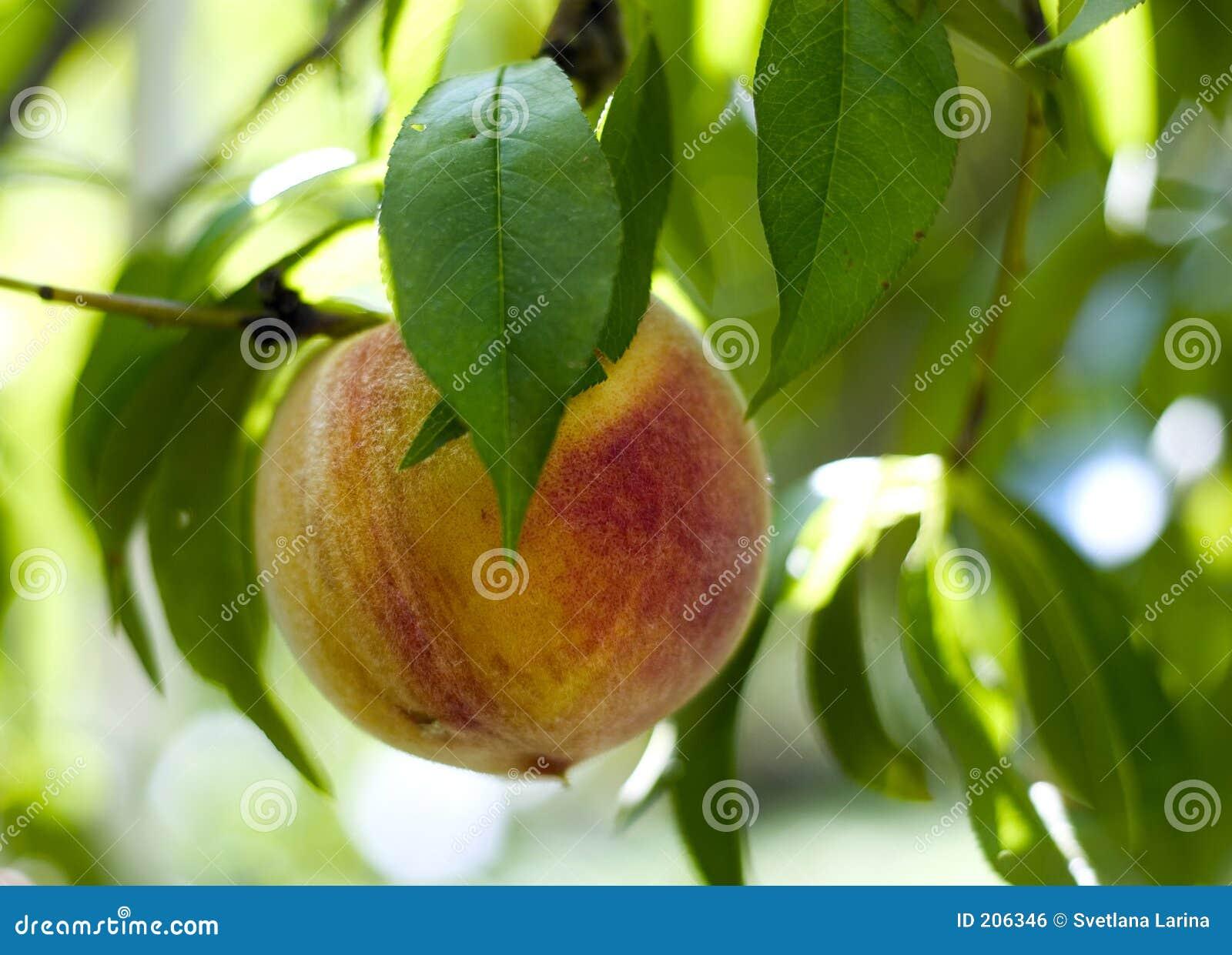 幼虫桃子富有结构树