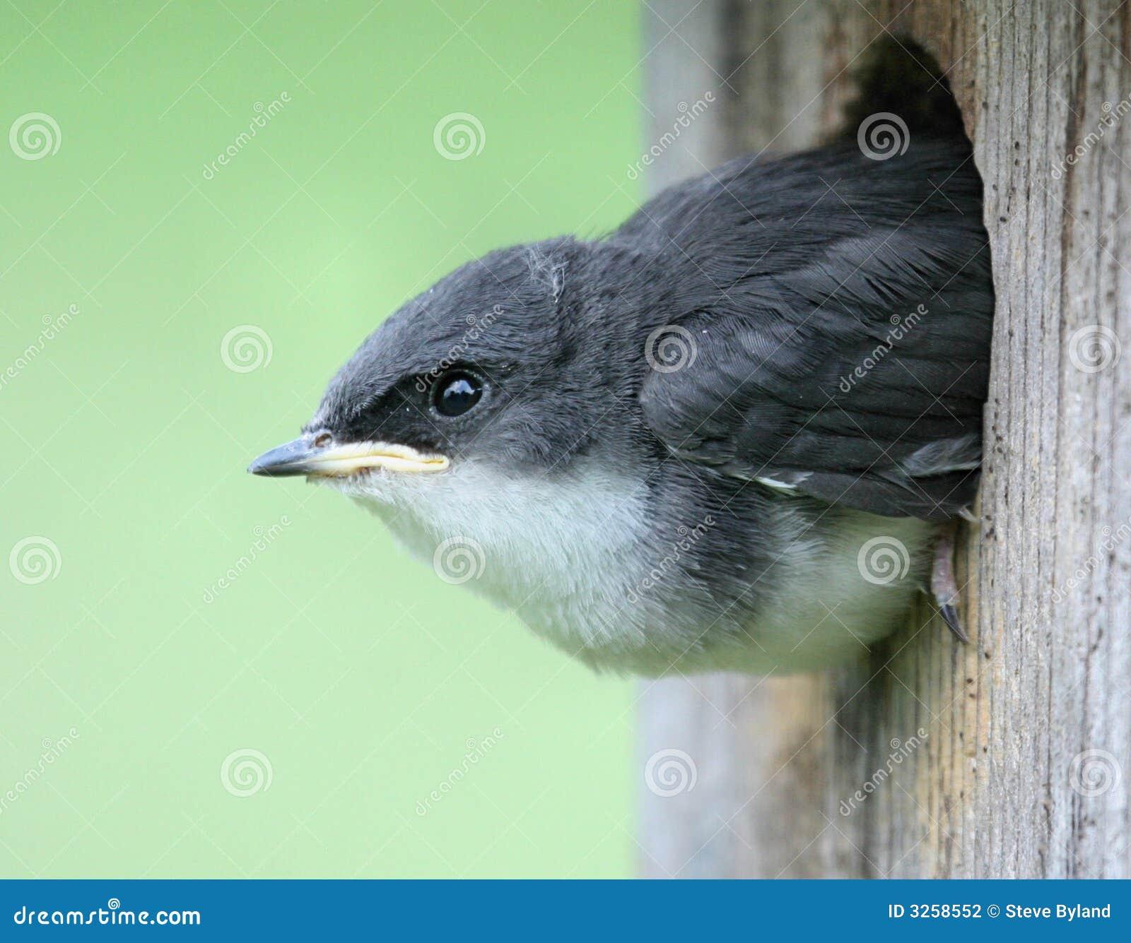 偷看燕子结构树的幼鸟房子.