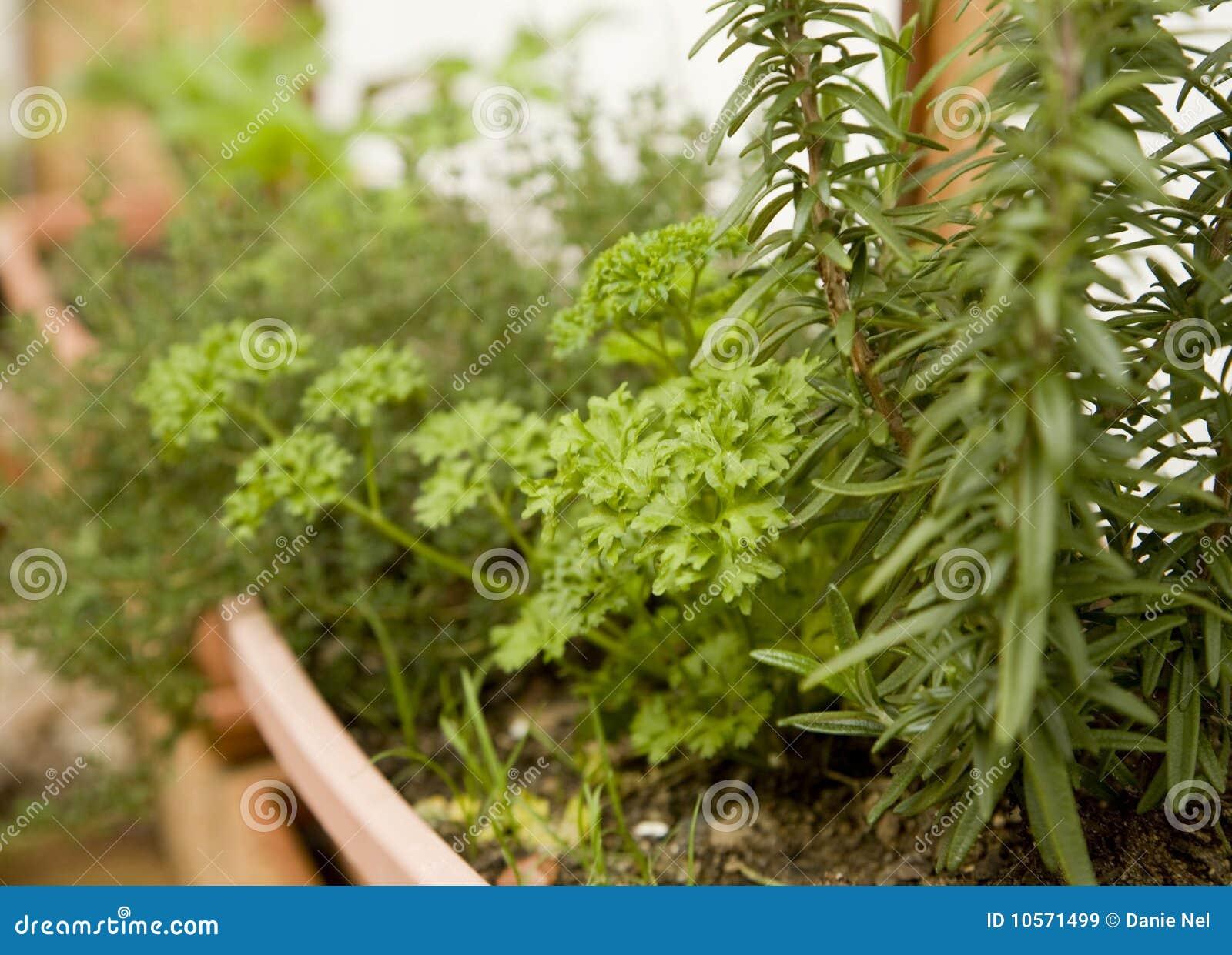 庭院草本有机盆