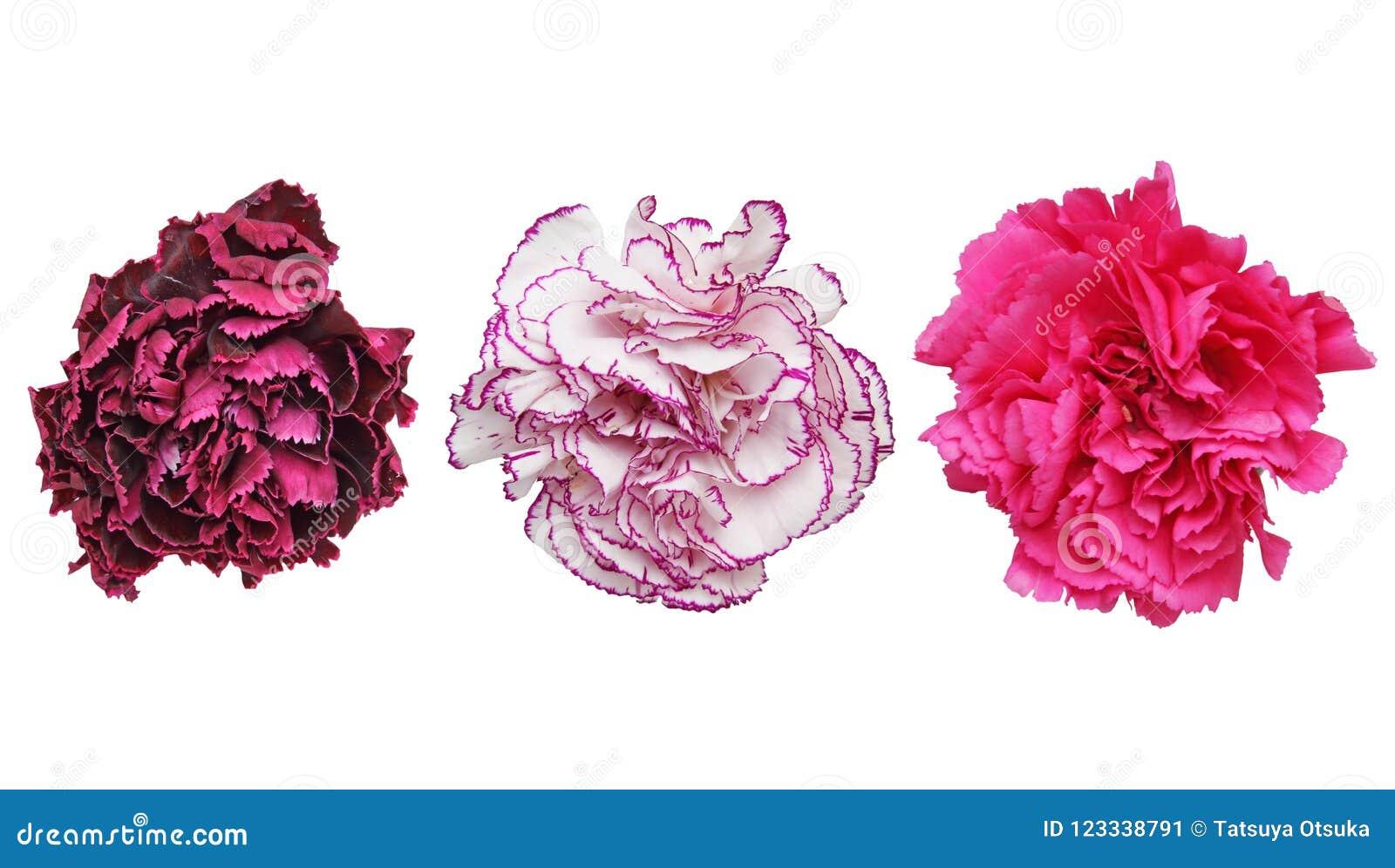 康乃馨头状花序在白色背景中