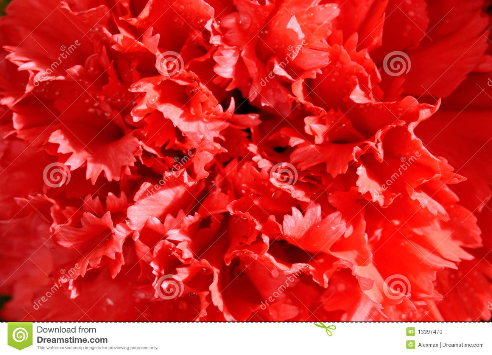 康乃馨宏观红色