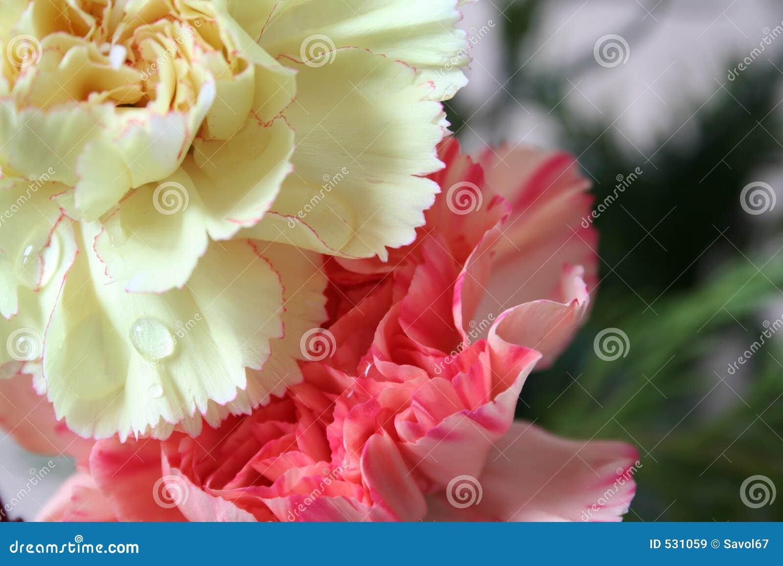 Download 康乃馨桃红色黄色 库存图片. 图片 包括有 关闭, 康乃馨, beautifuler, 纯度, 欲望, 花束 - 531059