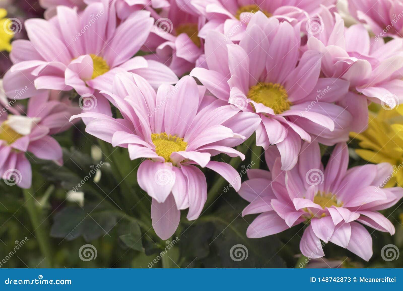 延命菊花品种