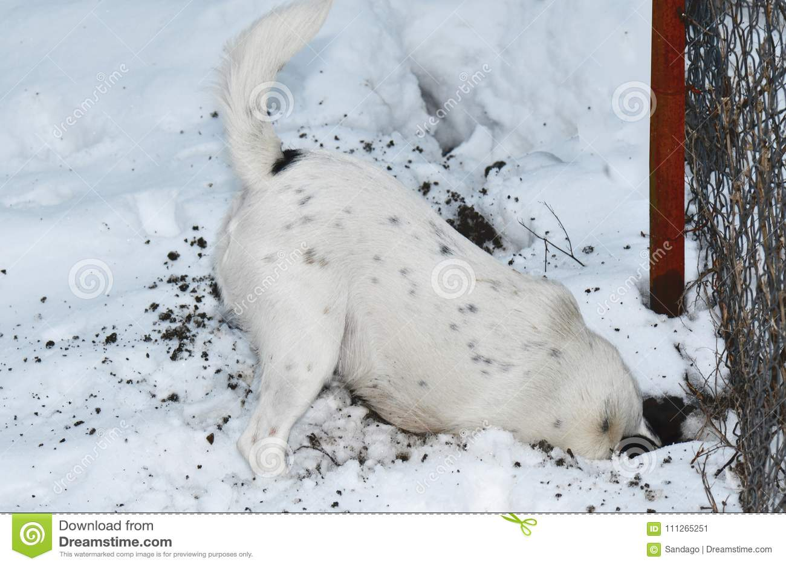 开掘在雪的狗一个孔