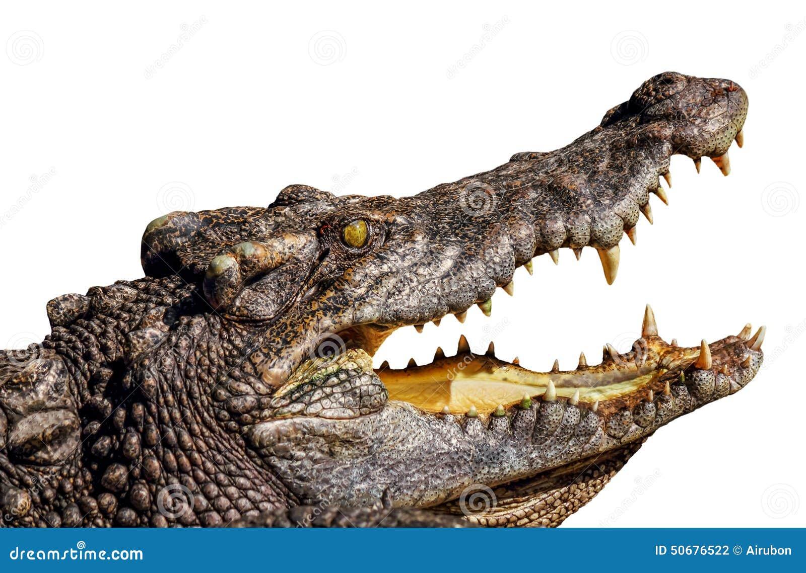 Download 开放鳄鱼的嘴 库存照片. 图片 包括有 下颌, 犬齿, 吓呆, 背包, 截肢术, 眼睛, browne, 纵向 - 50676522