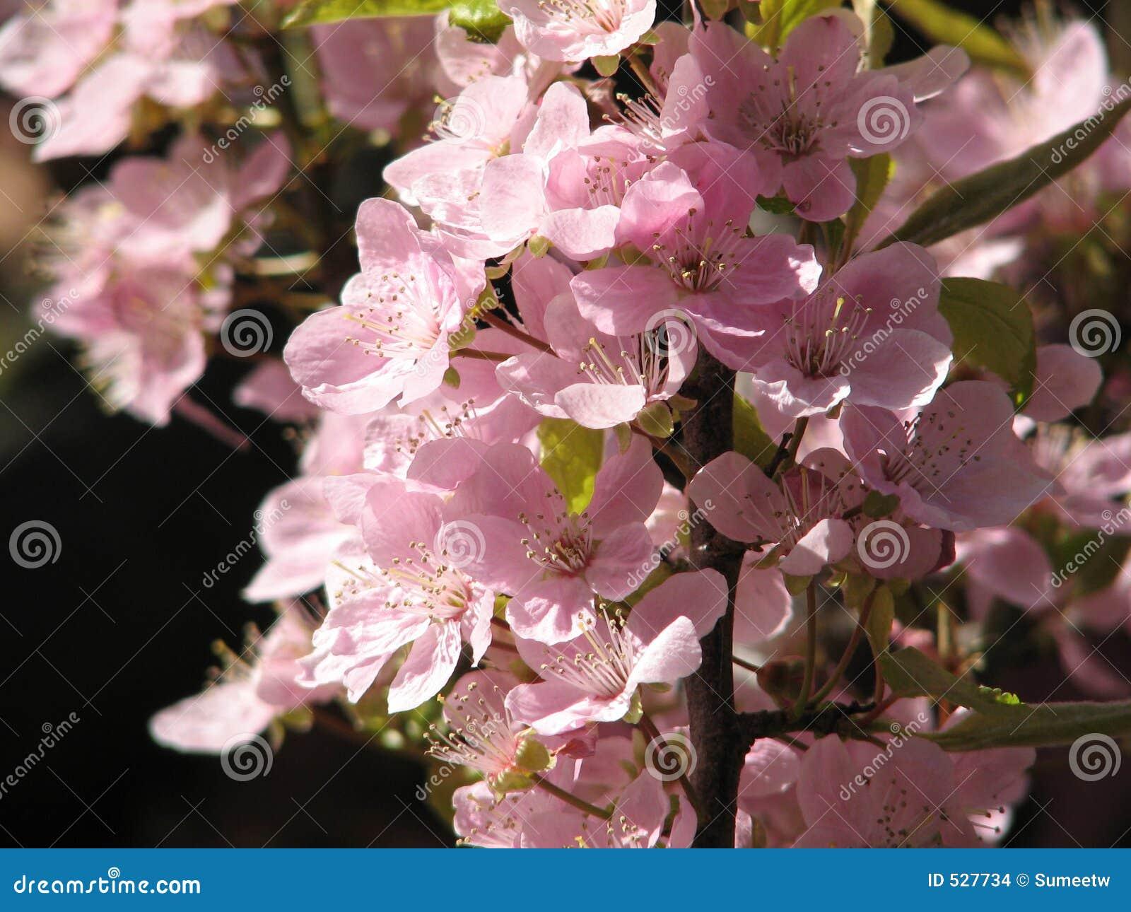 Download 开花加拿大樱桃 库存照片. 图片 包括有 britney, 维多利亚, 粉红色, 天空, 哥伦比亚, 本质, 加拿大 - 527734