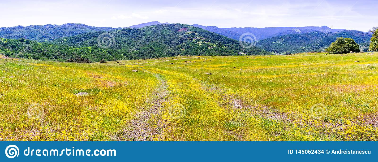 开花在南旧金山湾的Goldfield野花;嫩绿的小山可看见在背景中;圣荷西,加利福尼亚
