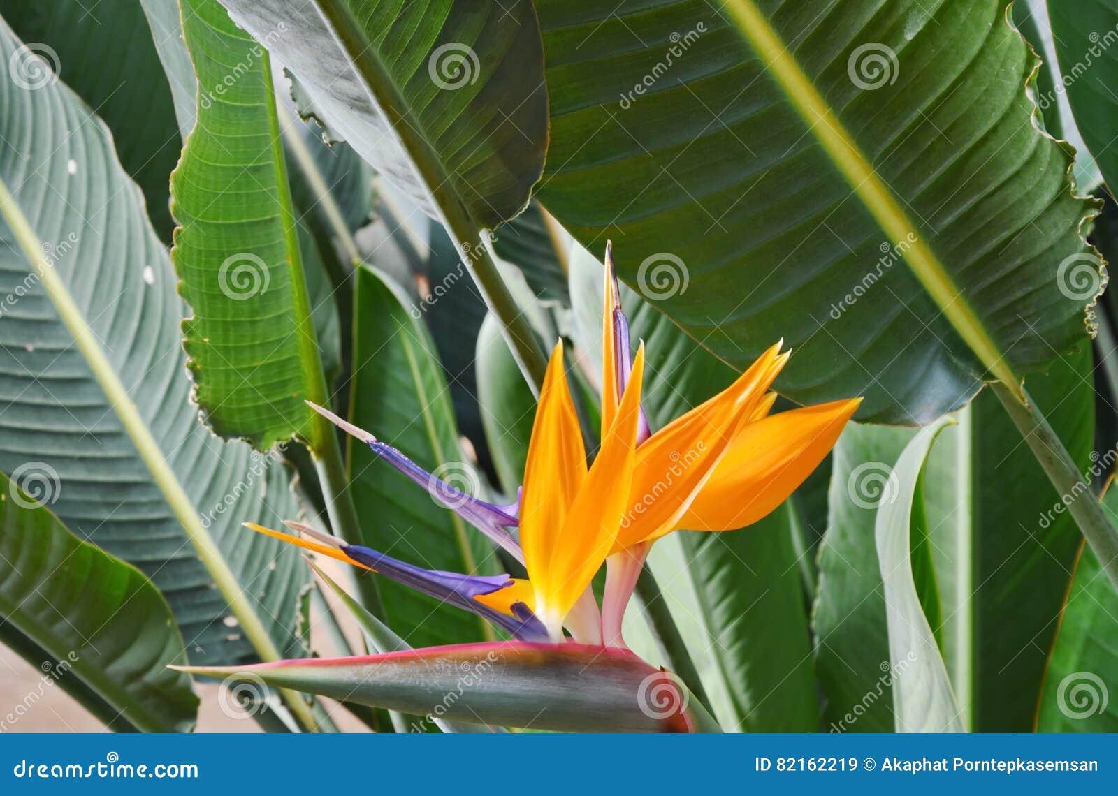 开花在庭院里的天堂鸟