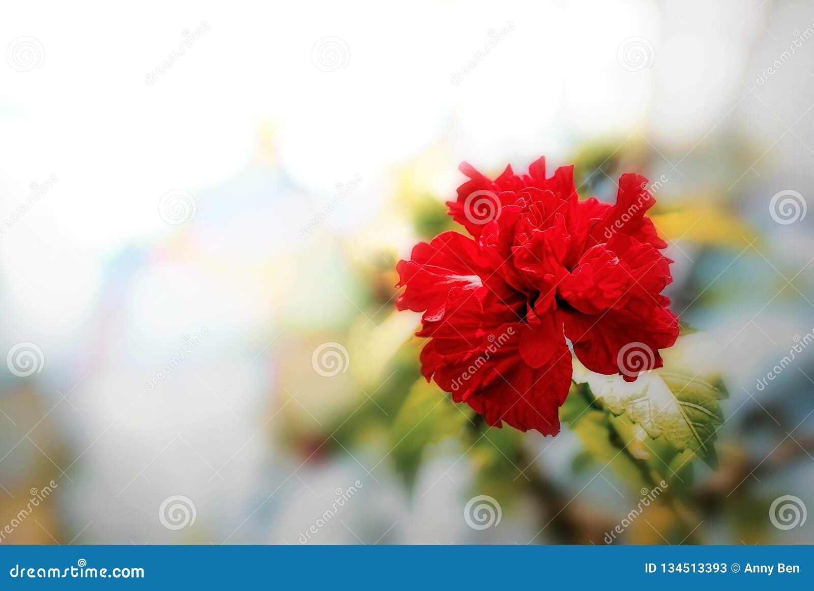 开花在庭院里的木槿花