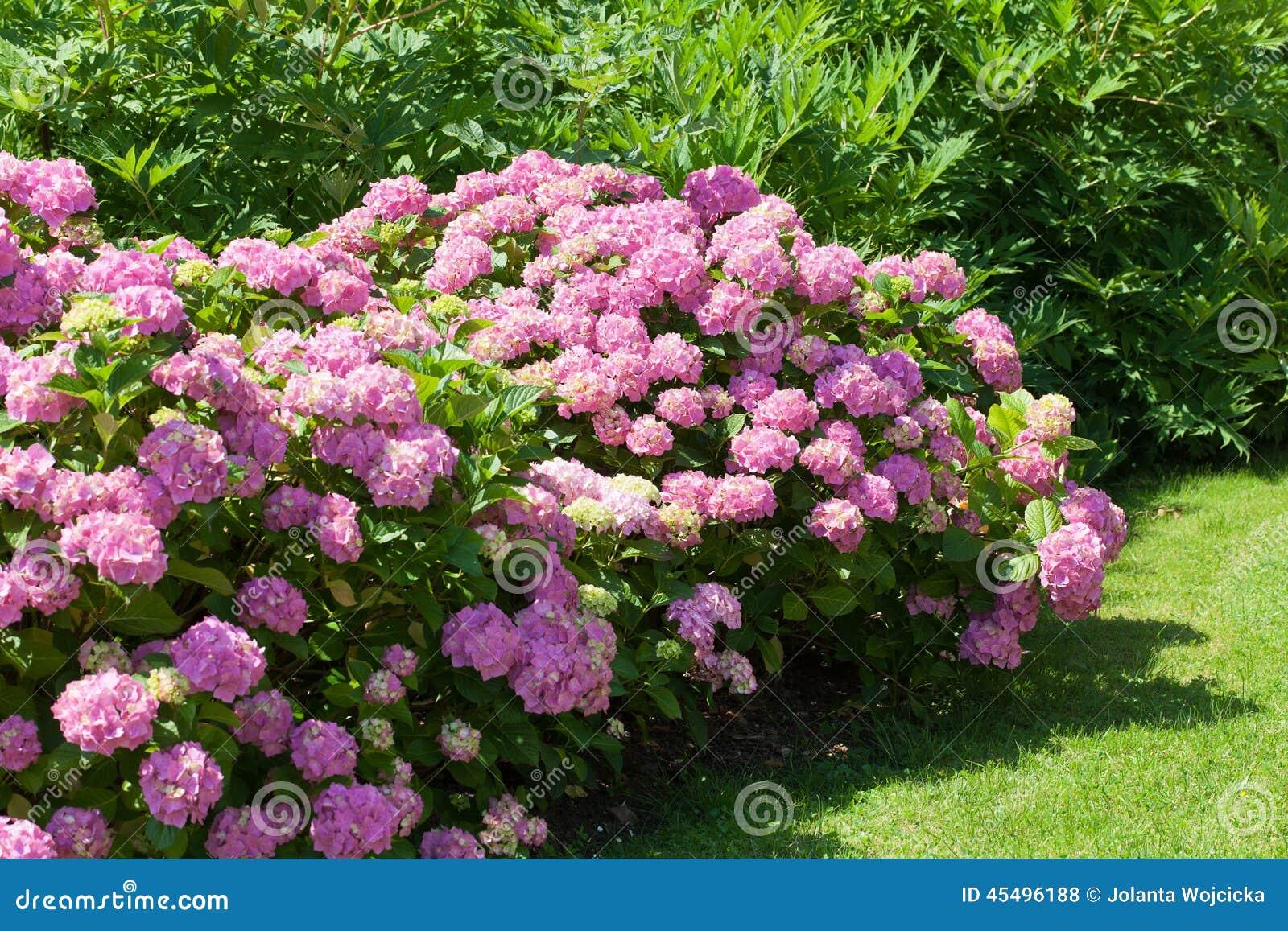 开花在庭院里的桃红色花八仙花属伟大的灌木