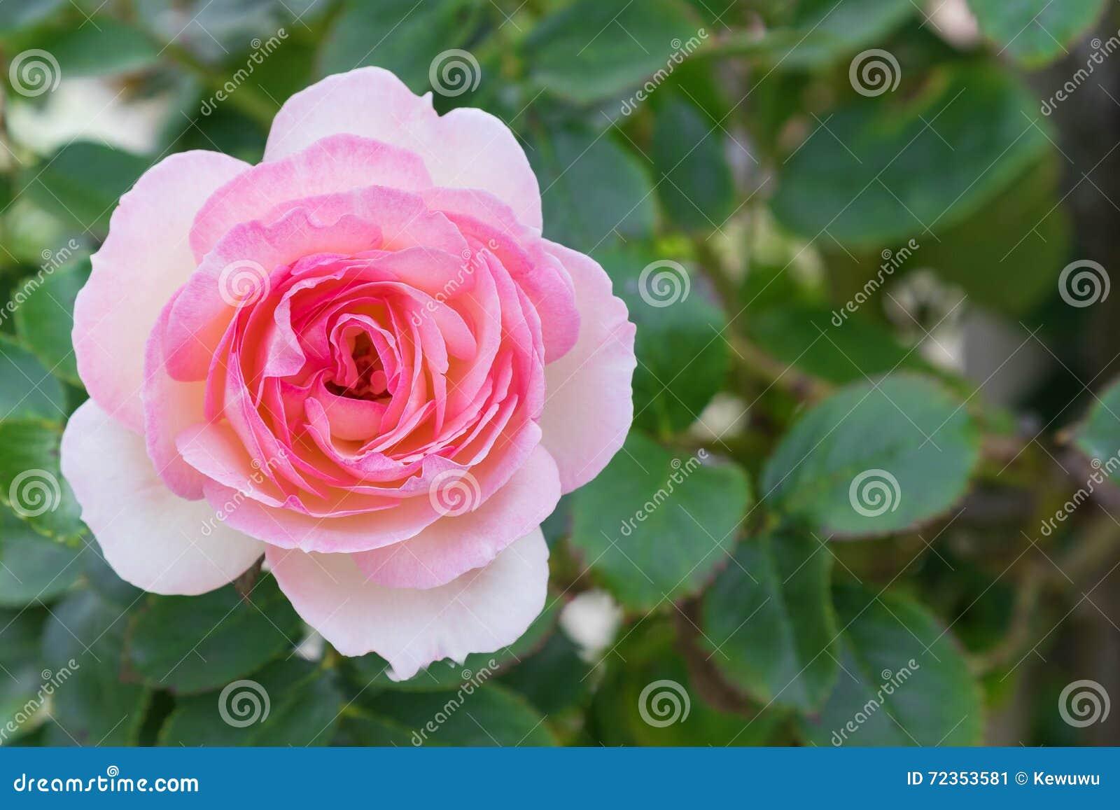 开花在庭院里的淡粉红的玫瑰特写镜头