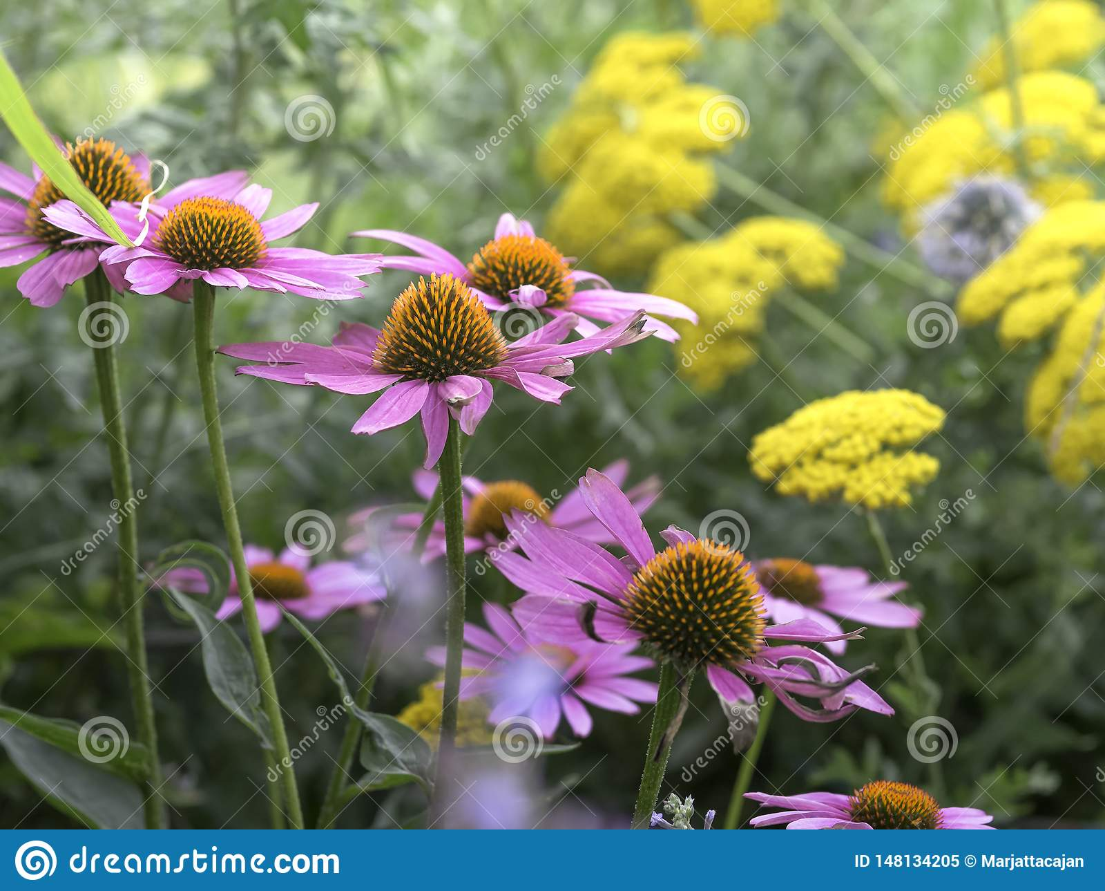 开花在庭院里的红色coneflowers