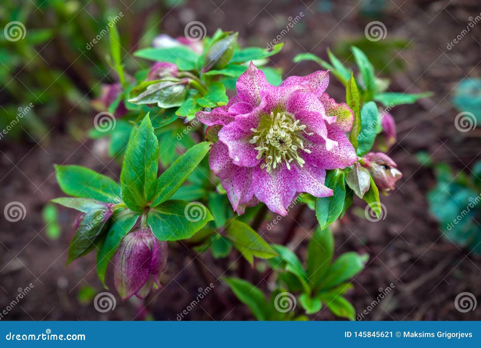开花在早期的春天的紫色紫罗兰色嚏根草属花在庭院里