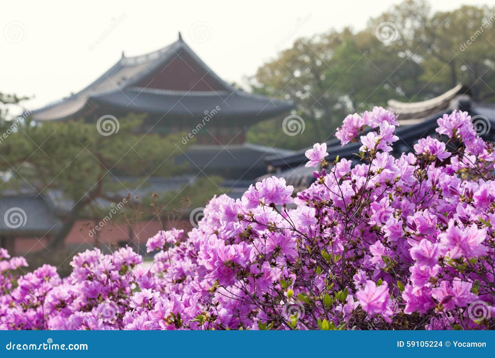 开花在昌德宫宫殿的杜鹃花在汉城,韩国